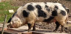 © massow-picture Das bunte Bentheimer Schwein ist langlebig, stressunempfindlich und robust - eine alte Haustierrasse des 19. Jahrhunderts in der Fasanerie Wiesbaden, dem Tier- und Pflanzenpark auf eurokunst