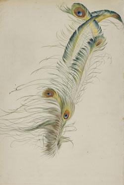 August Lucas: Pfauenfedern, um 1829, Bleistift und Aquarell, 424 : 290 mm ©Hessisches Landesmuseum Darmstadt, Foto: Wolfgang Fuhrmannek