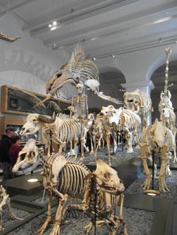 Ausschnitt aus der berühmten Skelettherde im Hessischen Landesmuseum Darmstadt. Jedes Ausstellungsstück wurde für die Neuaufstellung gereinigt, restauriert, neu präpariert. © massow-picture
