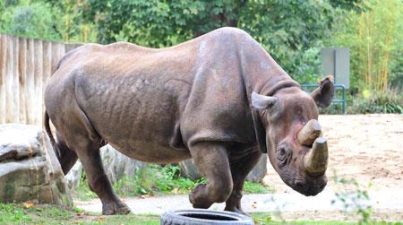 Der Weltnashorn-Tag (World Rhino Day) möchte einmal mehr auf das Schicksal der vom Aussterben bedrohten Nashörner hinweisen und informieren, wie man die auf der Roten Liste der gefährdeten Arten stehenden Nashörner noch wirksamer als bisher schützen könnte.  Hier Kalusho, eines der beiden Frankfurter Spitznashörner (29) als Botschafter wildlebender Artgenossen. Foto: © massow-picture