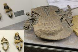 Gepanzerte Pflasterstein-Echse. Sie sieht auf den ersten Blick einer Schildkröte ähnlich, Mit ihrem Basalt-Pflasterstein ähnlichen Zähnen, li, weidete sie vor 228 Millionen Jahren den Meeresgrund nach Muscheln und anderen Hartschalentieren ab, die sie zermalmte. © massow-picture