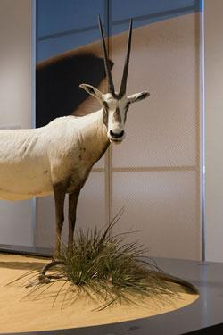 Abbildung: Die arabische Oryxantilope trotzt der Hitze der Wüste.  Foto: Bernd Fickert, Museum Wiesbaden