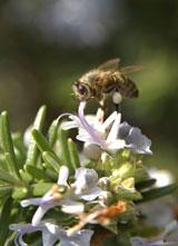 Honigbiene bei der Arbeit. Foto: Ralph Büchler
