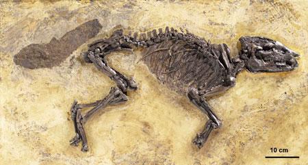 Großes Messeler Urpferd (cf. Propalaeotherium sp.), Fund aus dem Jahr 2015; Übersicht, Maßstab 10 cm, Foto: Wolfgang Fuhrmannek, HLMD