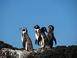 Gruppe Humboldt Pinguine Foto: Stefan Görlitz © Frankfurter Zoo