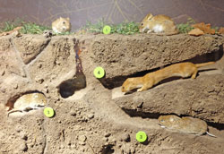 Gelbhalsmaus, Schermaus, Feldmaus, Mauswiesel und andere Bodensäugetiere werden im Modell in ihren Bodenbehausungen gezeigt. Foto: Diether v. Goddenthow  © atelier goddenthow
