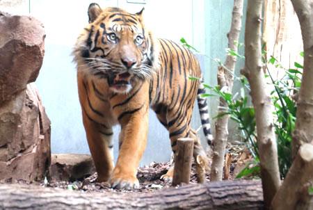 Sumatra-Tiger Vanni hat heute im Frankfurter Zoo sein neues Zuhause im Katzendschungel bezogen und wird dort in den nächsten Tagen seine Nachbarin Malea kennen lernen. Foto: Diether v. Goddenthow  © atelier-goddenthow