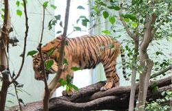 Auf Erkundungstour durch seinen neuen Mini-Dschungel, aber besser hier zu überleben als in Sumatra auszusterben. Foto: Diether v. Goddenthow