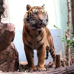 Da Vanni sich so rasch eingelebt hat, können bereits ab Morgen Besucher Vanni im Frankfurter Zoo besuchen und bestaunen. Foto: Diether v. Goddenthow