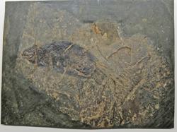 Die Flugmaus aus dem Westerwald. Ein fossiler Fund. Das nächste Bild zeigt die Rekonstruktion der Stöffelmaus. Foto:. Diether v. Goddenthow