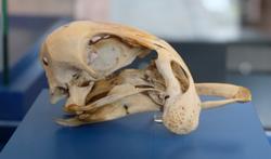 Ein deformierter Schädel einer Hausgans von 1664 des Hildesheimer Arztes Friedrich Lachmund ist das ältestes Objekt der Wirbeltiersammlung. Gleich zu sehen an Station 1 im Museumsfoyer. Foto: Diether v. Goddenthow