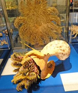 Gerade erst fertig gestellt wurde das detailgenaue Modell eines Tritonshorns, das einen Dornenkronenseestern verschlingt. © Foto: Diether v. Goddenthow