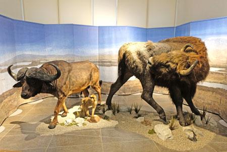 Das Europäische Waldbison erscheint in am Ende der letzten Eiszeit, als Wälder häufiger werden. Damit löst er das Steppenbison ab. Die Berberaffen (u.Mitte i Bild) verschwanden hierzulande mit der letzten Kaltzeitphase vor 30 000 Jahren. © Foto: Diether v. Goddenthow