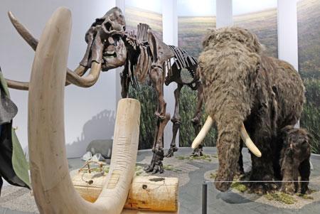 Eiszeit-Safari im Wiesbadener Landesmuseum entführt die Besucher in eine faszinierende Welt,  als Mammutherden und Wollnashörner noch durch unsere Landschaft streiften, als Höhlenlöwen zu den gefährlichsten Raubtieren gehörten und Riesenhirsche mit ihrem Geweih selbst Wölfe beeindruckten.© Foto: Diether v. Goddenthow