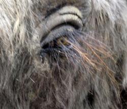 Bis in letzte Detail, wie hier die überlangen Augenwimpern des Wollhaarmammuts, wurden die vorzeitlichen Tiere der Eiszeit rekonstruiert. © Foto: Diether v. Goddenthow