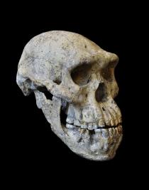 Das Original des weltweit vollständigsten  fossilen Menschenschädels – Schädel 5 aus  Dmanisi – für fünf Wochen zu sehen im  Senckenberg Naturmuseum. Foto: Guram Bumbiashvili, Nationalmuseum Georgien