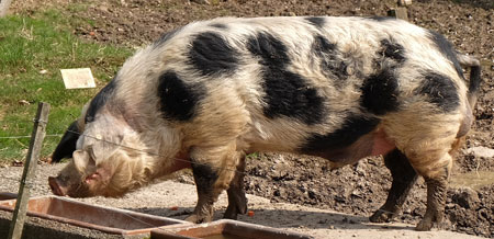 Alte Hausschweinrasse im Natur- und Tierpark Fasanerie .©  Foto: Diether  v Goddenthow