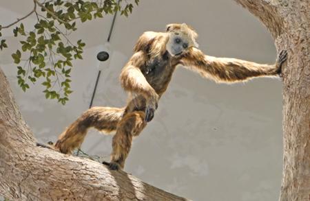 Ein rheinhessischer Affe. ©  Foto: Diether  v Goddenthow