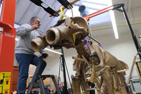 Endlich sitzt der Schädel, an dem noch Unterkiefer und die beiden Stoßzähne fehlen. Mario Drobek, Präparator des Hessischen Landesmuseums hat gerade die vierte Haltemutter verschraubt. © Foto: Diether v Goddenthow