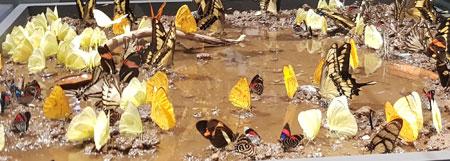 """An einer Pfütze im Regenwald von Peru versammeln sich 15 verschiedene Schmetterlings-Arten. Wunderbare Inszenierung jetzt in der Ausstellung """"Schmetterlingen auf der Spur. Mit Illustrationen von  Johann Brandstetter.  © Foto: Diether v. Goddenthow"""