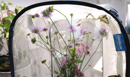 In diesem Miniherbarium können Besucher das Schlüpfen von Schmetterlingen beobachten . Der Schmetterlingsexperte Matthias Sanetra hat - genehmigterweise - die entsprechenden Raupen züchten dürfen und versorgt sie in der Ausstellung artgerecht. © Foto: Diether v. Goddenthow