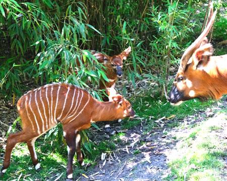 """Bongo-Jungtiere Forrest (im Vordergrund) und Pili erblickten am 10.  bzw. 19. Juni 2020 im Frankfurter Zoo das Licht der Welt, hier mit Mutter Leki. Da Forrest noch anfängliche Laufschwierigkeiten hatte, die nun auswachsen, nannten ihn die Tierpflege liebevoll nach """"Forrest Gump"""". Pili ist erheblich kleiner, auch etwas scheuer als sein Bruder. © Foto: Diether v. Goddenthow"""