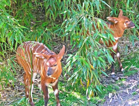Forrest (li) und Pili - Bongo-Nachwuchs. © Foto: Diether v. Goddenthow