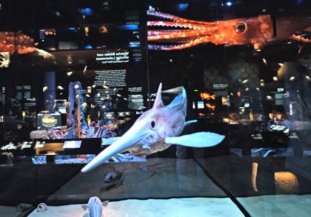 """Ausstellungs-Impression. """"Tiefsee und Meeresforschung"""" im Senckenberg-Naturmuseum. Im Vordergrund eine Langnasenchimäre (Rhinochimaera pacifica). Besonders charakteristisch ist die namensgebende lange Nase. In dieser befinden sich Sensoren zur Wahrnehmung von im Sand versteckter Beute mittels Elektrorezeption. Chimären jagen meist in Bodennähe. © Foto: Diether v. Goddenthow"""