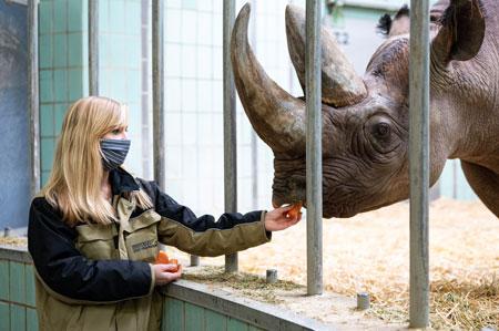 Kuratorin des Zoo Frankfurt Sabrina Linn füttert Spitzmaulnashorn Kalusho mit einer Möhre © Stadt Frankfurt am Main Foto: Salome Roessler