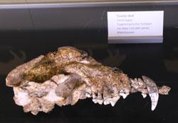 Canis Mosbachensis - der Uropa aller Wölfe weltweit vermutet man in Wiesbaden Biebrich. © Foto Diether v. Goddenthow