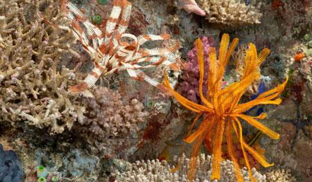 Langarmiger Federstern Dichrometra flagellata und Buschiger Federstern Comaster schlegelii. Federsterne sind nachtaktiv. Tagsüber leben sie mit eingerollten Armen in Höhlen und Spalten und bewegen sich erst in der Dämmerung an strömungsreiche Standorte, um Plankton zu filtrieren. Foto: Senckenberg/Tränkner