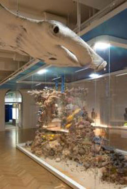 Neben dem Riff schwebt ein 1:1- Modell eines Riffmantas. Foto: Senckenberg/Tränkner