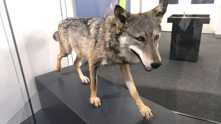 """""""Luigi"""" so wurde der Mainzer Wolf aufgrund seiner italienischen Herkunft getauft. © Foto Diether v. Goddenthow"""